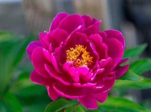 Dark pink peony flower growing in the garden, horizontal, closeup